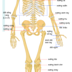 HUMAN JOINTS BONE STRUCTURE AND COMMON DISEASE