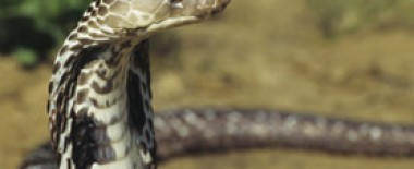 Making Medicine From Snake Venom